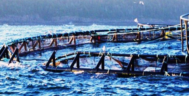 salmon producers receive approval storm bay