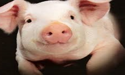 JD Finance unveils stockbreeding solution to lower cost of pig farming