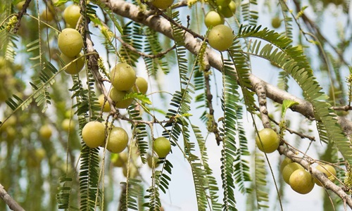 New study testifies positive impact of Amla extract on heart health